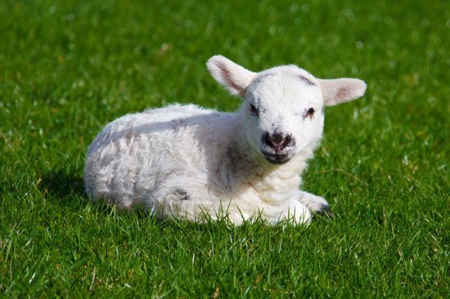Lamb-sheep-30710619-1280-853